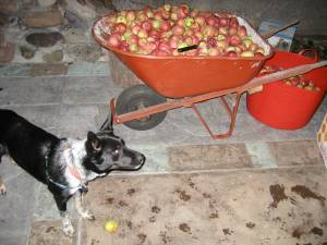 Blue decided these were HER apples and she had to guard them